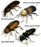 what_is_woodworm_beetles_200